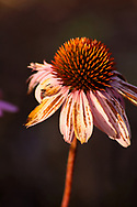 Echinacea in the Sunlight