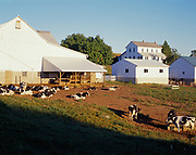 Holsteins relaxing on Amish farm south of Berlin, Ohio.