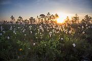 Sunlit seed-heads of the hare's-tail or tussock cottongrass (Eriophorum vaginatum) in sunrise, Kemeri National Park (Ķemeru Nacionālais parks), Latvia Ⓒ Davis Ulands   davisulands.com