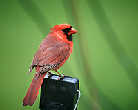 Northern Cardinal. Image taken with a Nikon D5 camera and 600 mm f/4 VR telephoto lens (ISO 1600, 600 mm, f/5.6, 1/250 sec).