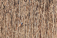 Bearded Tit on reeds at Leighton Moss RSPB Centre.