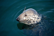 A curious harbor seal raises its head for a better view of Aunt Lydia's Cove in Chatham.