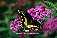 03009-014.01 Black Swallowtail butterfly (Papilio polyxenes) male on Butterfly Bush (Buddleia davidii) Marion Co. IL