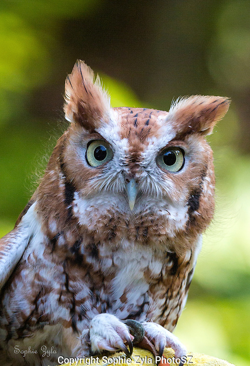 Kokopelli, Eastern Screech Owl, Cuteness at APCH