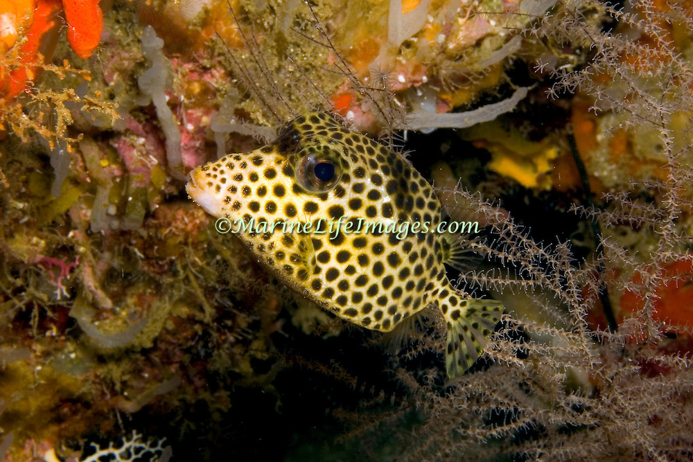 Spotted Trunkfiosh swim around reefs in Tropical West Atlantic, often hover in the openings to small holes and under ledges; picture taken St. Vincent