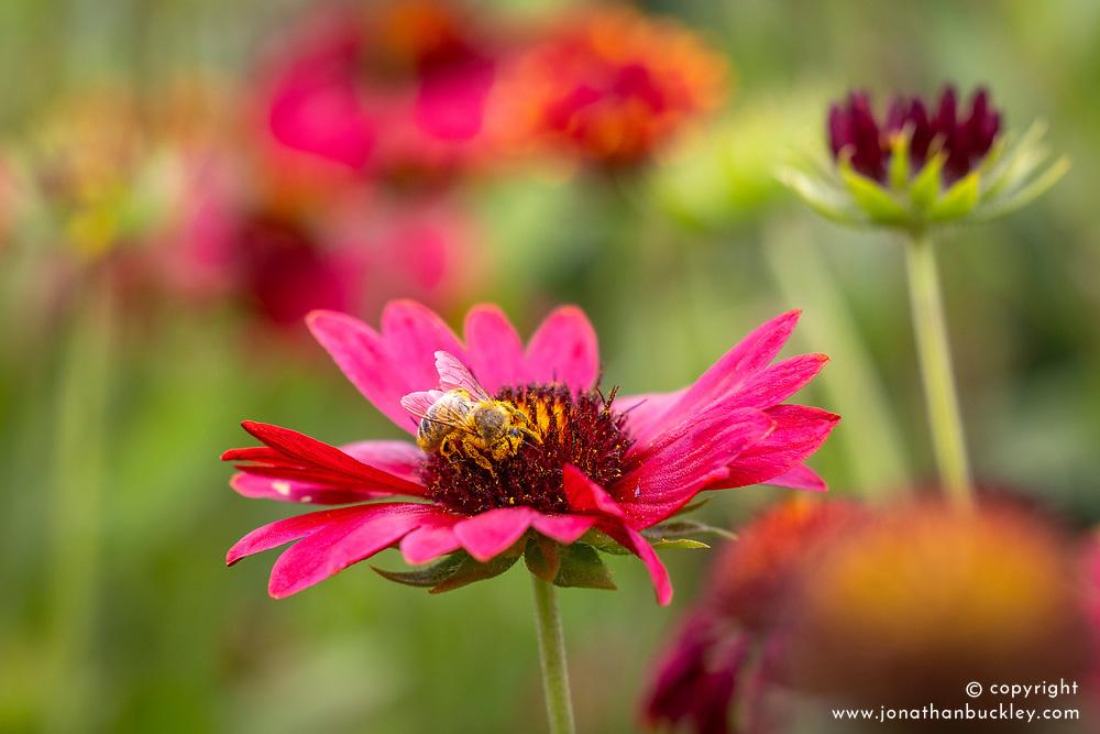 Bee on Gaillardia × grandiflora 'Burgunder' - Blanketflower
