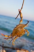 A blue crab walks across the sand.