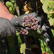 VARNA, ITALY - OCTOBER 13: A Riesling grape is manually harvested at Abbazia di Novacella on October 13, 2010 in Varna, Italy. Abbazia di Novacella, in Alto Adige established in the year 1142 by Augustinian monks, is one of the oldest vineries in the world; it has a production of about 400,000 bottles of world class wines including Kerner, Sylvaner, Pinot Grigio, Gewurtztraminer.