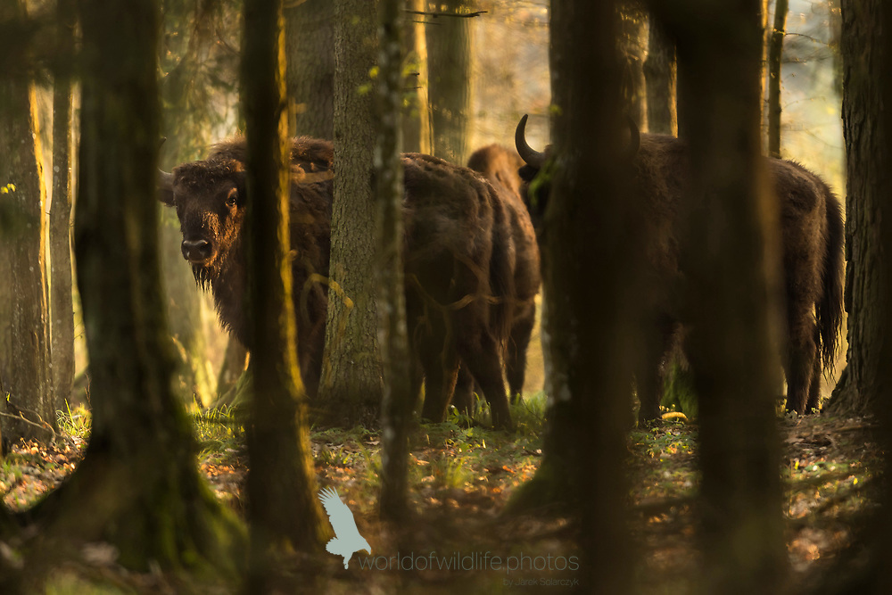animals_of_bialowieza in bialowieza_forest 20170430.