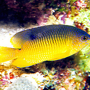 Cocoa Damselfish inhabit reefs, especially fore reefs with living coral, in Tropical West Atlantic; picture taken Roatan, Honduras.