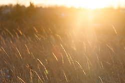 Backlit grasses after rare winter snowfall, Blackland Prairie, High Point Park and Wildflower Preserve, Farmersville, Texas, USA.