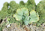 Common greenshield lichen (Parmelia caperata) collected in New York State.  This image is a focus stacked shot, made from 40 images taken at different focus points.