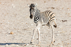 Zebra at Etosha National Park, Namibia, Africa