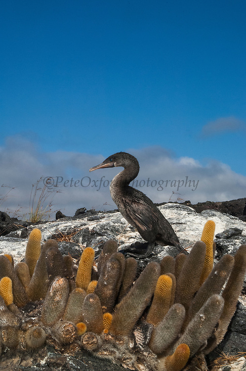 Flightless Cormorant (Phalacrocorax harrisi) and Lava Cactus (Brachycereus nesioticus)<br /> Fernandina Island. Western Isles of Galapagos Islands<br /> ECUADOR.  South America<br /> These are the largest of the world's 29 cormorant species and the only one that has lost the power of flight. They live very locally to the shores of Isabela and Fernandina Islands and although they can not fly still retain vestigial wings which help them to balance when jumping from rock to rock. As they do not produce much oil to waterproof their wings they must dry out their wings when they return to shore. Nests are constructed of seaweed, flotsam and jetsam and are never more than a few meters from shore. Usually up to 3 eggs are layed.<br /> ENDEMIC TO GALAPAGOS