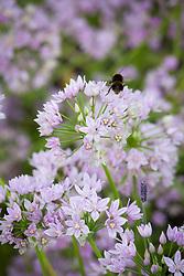 Allium unifolium AGM (American onion) with bee