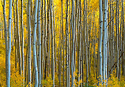Best-selection-of-photo-decor-online-by-Randy-Wells-travel-photographer-videographer, Image of quaking aspens in the fall near Telluride, Colorado, American Southwest by Randy Wells