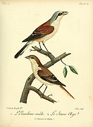 Pie-grièche écorcheur or The red-backed shrike (Lanius collurio) is a carnivorous passerine bird and member of the shrike family Laniidae. Its breeding range stretches from Western Europe east to central Russia. It is migratory and winters in the eastern areas of tropical Africa and southern Africa. from the Book Histoire naturelle des oiseaux d'Afrique [Natural History of birds of Africa] Volume 2, by Le Vaillant, François, 1753-1824; Publish in Paris by Chez J.J. Fuchs, libraire 1799