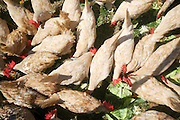 Israel, Ecological farm, Free roaming chickens