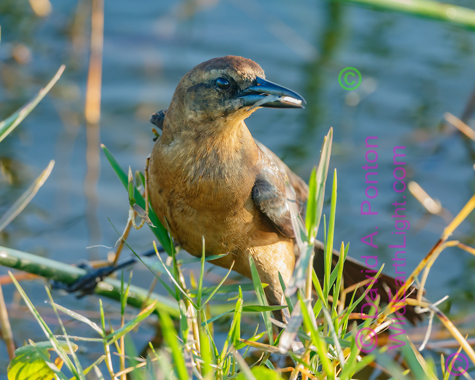 Boat-tailed grackle female with just-caught minnow in her beak, © David A. Ponton