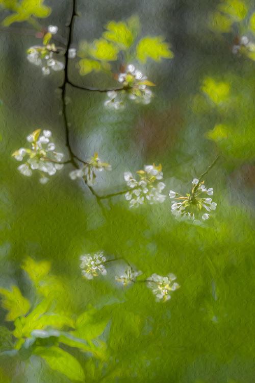 Bitter cherry (Prunus emarginata), lowland forest, Elwha River watershed, Clallam County Olympic Peninsula, Washington, USA