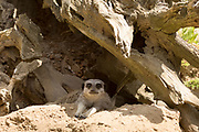 Meerkat, Suricata suricatta, under tree trunk at Jersey Zoo - Durrell Wildlife Conservation Trust, Channel Isles