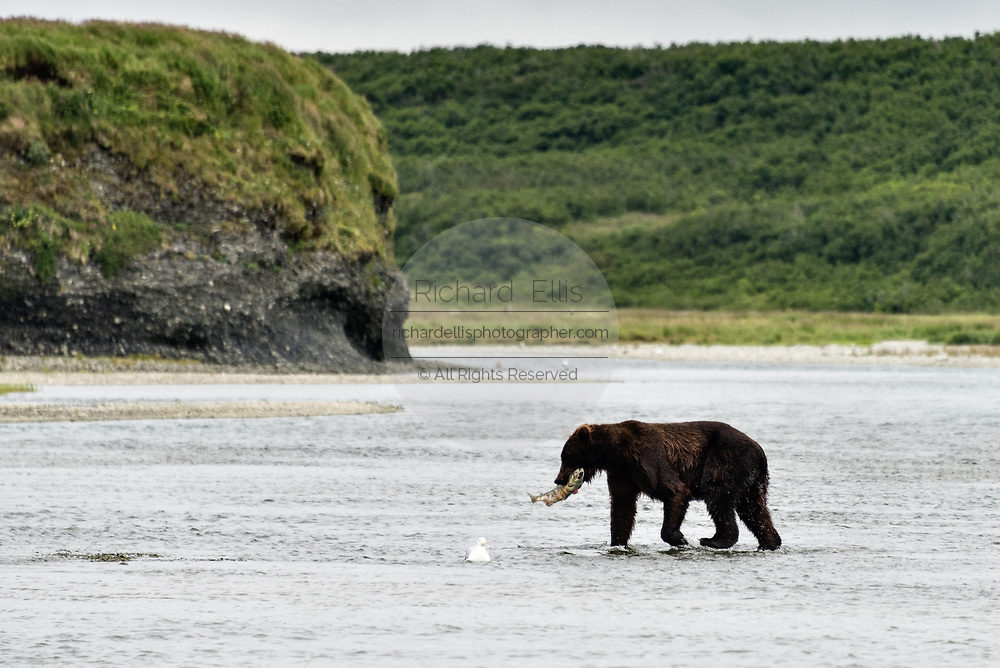 A Brown bear boar carries a chum salmon back to shore to eat in the lower river at the McNeil River State Game Sanctuary on the Kenai Peninsula, Alaska. The remote site is accessed only with a special permit and is the world's largest seasonal population of brown bears in their natural environment.
