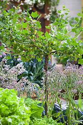 Standard gooseberry bush amongst borage