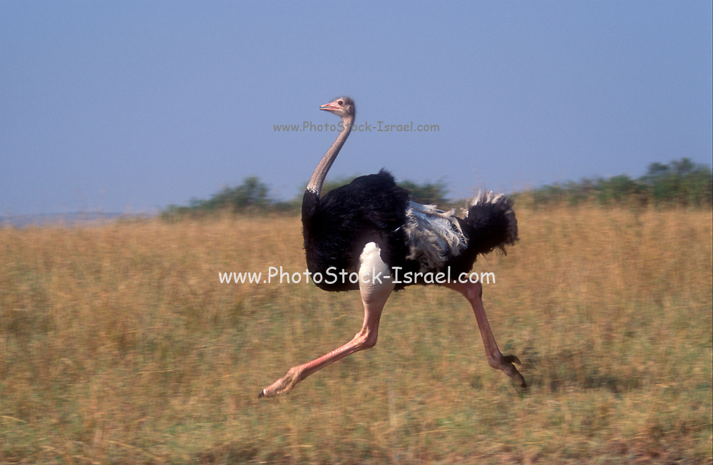 Close up full body view of a single ostrich (Struthio camelus). Photographed in the Serengeti National Park, Tanzania in April.