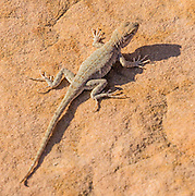 Lizard. Capitol Gorge, Capitol Reef National Park, Utah, USA.