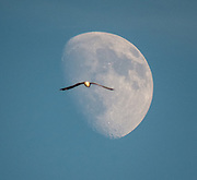 A seagull is crossing over the Moon.