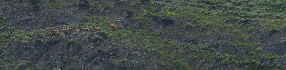 That black upper-right thing with a tail is a wolf chasing a herd of bighorn sheep on the left.