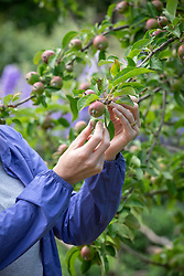Thinning out apples to encourage larger fruit.