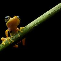 Gold-Nugget Treefrog (Boana picturata), an endemic to the chocó pacific rainforests of Ecuador and Colombia. Mashpi Amagusa Reserve, Pichincha, Ecuador.