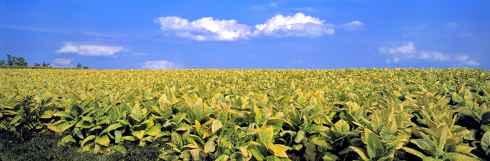 Tobacco farming is one of common industries in the Lexington area of Kentucky.