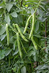 Broad Bean 'Masterpiece Green Longpod' - Vicia faba