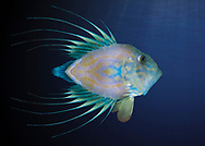 Digital art of a john dory fish made into a different fish, titled a Mirror Dory.