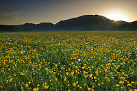 Meadow buttercup (Ranunculus acris) and Poet's Daffodil (Narcissus poeticus), Monte Vettore/Piano Grande/Sibillini National Park, Italy; WWoE Mission