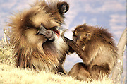 Africa, Ethiopia, Simien mountains, Gelada monkeys Theropithecus gelada social activity