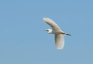 Cattle Egret, Bubulcus ibis