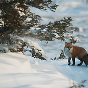 Red fpx (Vulpes vulpes) near Churchill, Manitoba, Canada.