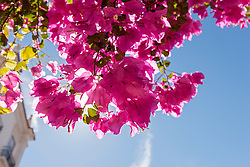 Close-up of Bougainvillea flowers, Lisbon, Portugal
