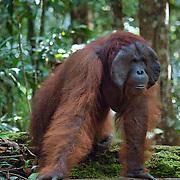 Orangutan (Pongo pygmaeus) large male, Tanjung Puting National Park. Borneo