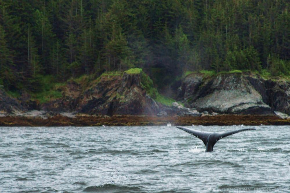 Whale Watching, Auke Bay