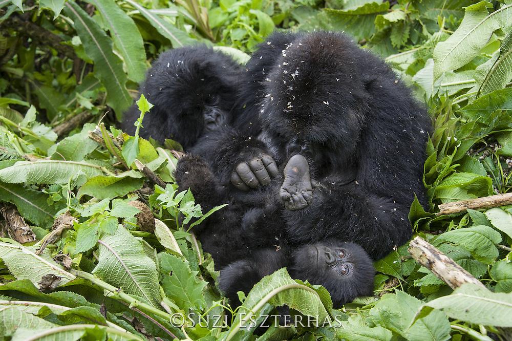Mountain Gorilla<br /> Gorilla gorilla beringei<br /> Mother grooming her two year old baby (sub-adult behind)<br /> Parc National des Volcans, Rwanda<br /> *Endangered species