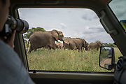 Over the shoulder view of a tourist photographing African elephants (Loxodonta africana) from a safari car in Tarangire National Park, Tanzania