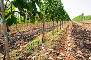 Vines equipped with black rubber or plastic tubes for artificial irrigation watering. Vranac grape variety. Typical red reddish clay sand sandy soil mixed with pebbles rocks stones in varying amount. Vineyard on the plain near Mostar city. Hercegovina Vino, Mostar. Federation Bosne i Hercegovine. Bosnia Herzegovina, Europe.