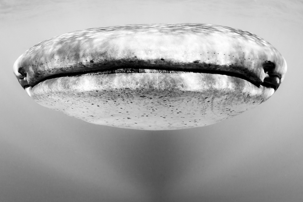 México, Quintana Roo. Portrait of a Whale Shark near Isla Mujeres.