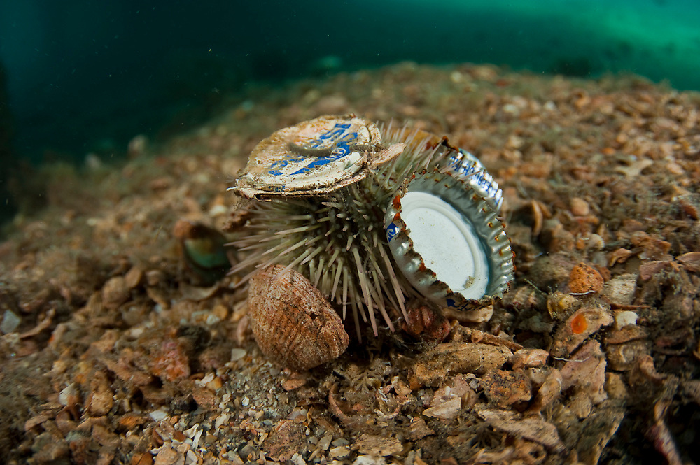 Sea Urchin, Lytechinus variegatus, with debris and garbage attached to it. Photographed in the Lake Worth Lagoon, Singer Island, Florida.