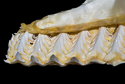rows and series of bull shark teeth on jaw, Carcharhinus leucas, showing conveyor-belt-like system of shark tooth replacement - in which a tooth from the rear row pops into place when a tooth on the outer row is lost