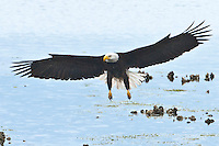 Bald Eagle (Haliaeetus leucocephalus) (Halietus leucocephalus) approaches for a landing on a Pacific Oyster bed in Hood Canal of Puget Sound in Washington state, USA